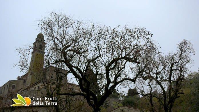 Arquà Petrarca - Giuggiole